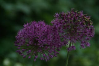 Allium 'Purple Sensation'  bestellen