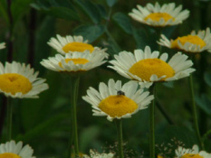 Anthemis tinctoria 'Sauce Hollandaise'  bestellen