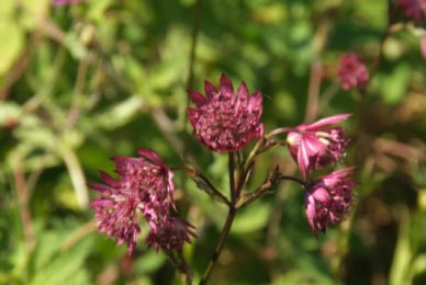 Astrantia major 'Lars'  bestellen